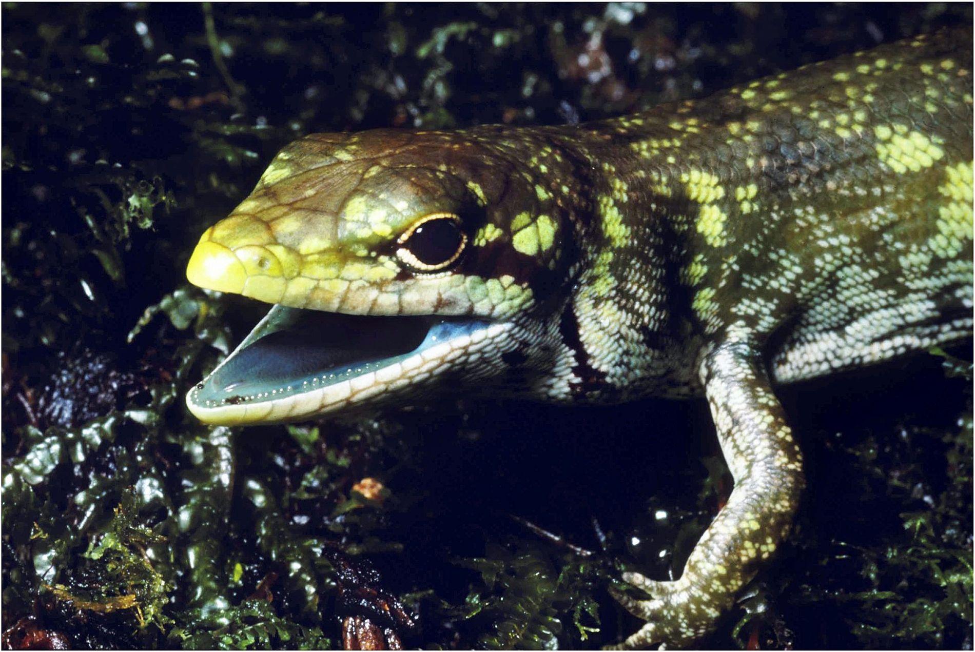 Lagartos do gênero Prasinohaema são totalmente verdes.