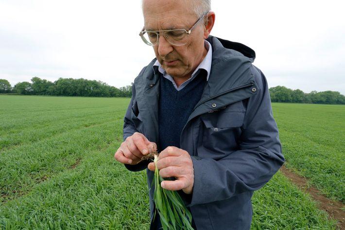Roger Sylvester-Bradley inspeciona as raízes de uma planta de cevada saudável em busca de sinais de ...