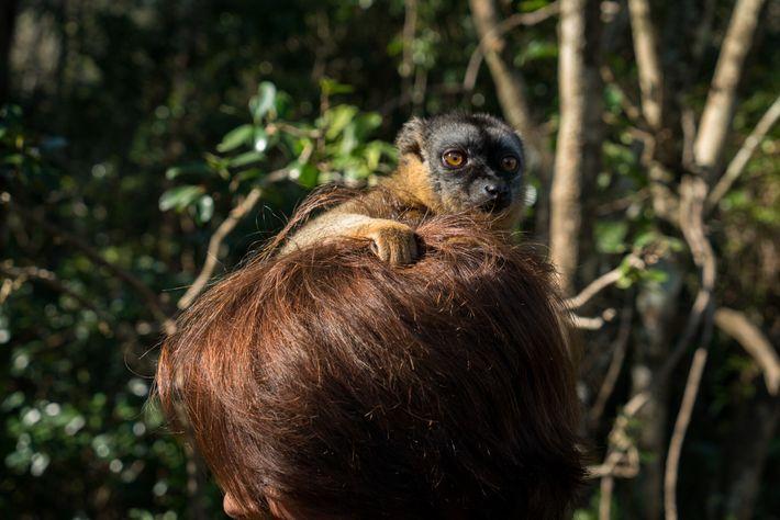 Lêmure da espécie Eulemur fulvus se agarra ao cabelo de uma mulher em hotel no leste ...