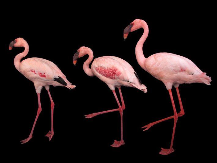 Flamingo-pequeno, Phoeniconaias minor (quase ameaçado).