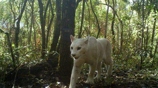 Onça-parda com leucismo caminha pelo Parque Nacional da Serra dos Órgãos, no sudeste do Brasil, em ...