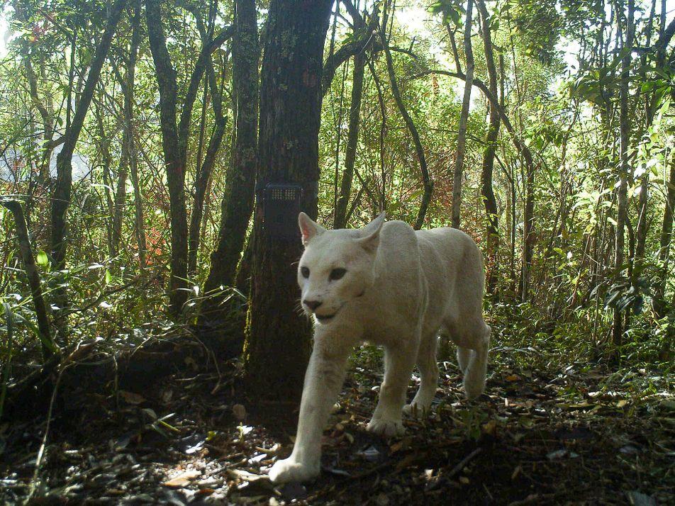 Extremamente rara, onça-parda com leucismo destaca excentricidade da espécie