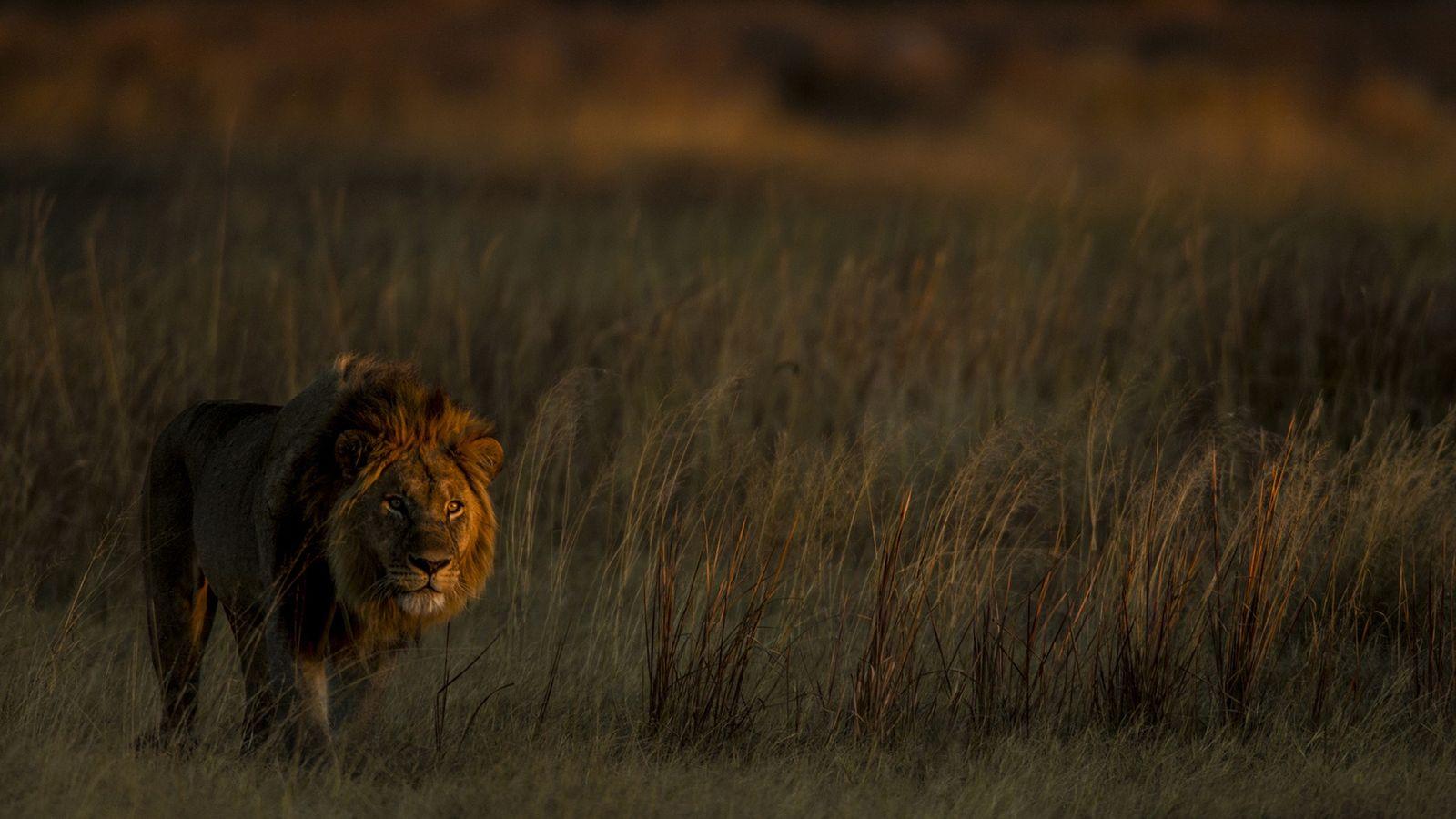 Quando a caça finalmente cessou no que atualmente é a reserva Selinda, sobraram duas leoas. Hoje, ...