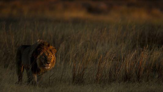Como por um milagre, leões retornaram ao território onde antes eram caçados
