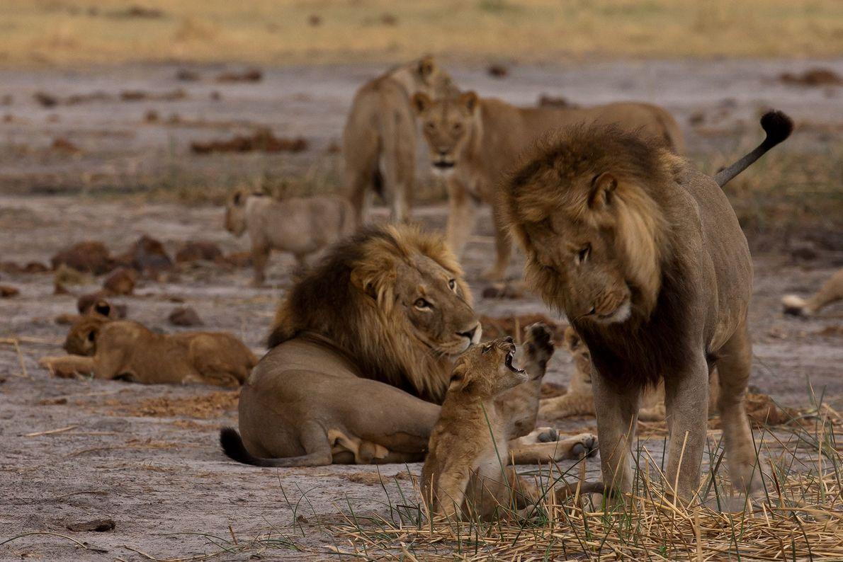 O filhote macho busca incessantemente a atenção dos machos adultos.