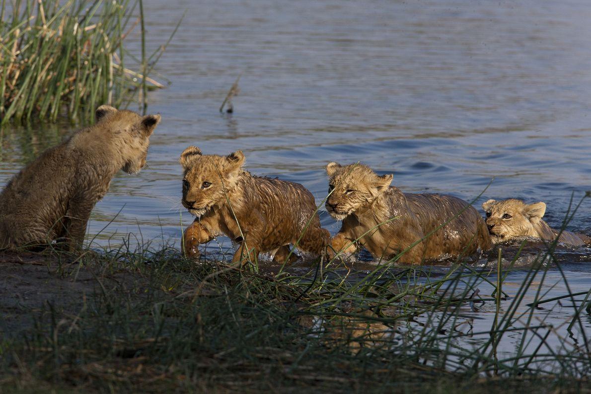 No começo, os filhotes de leão hesitaram em atravessar o rio. A vida é dura para ...