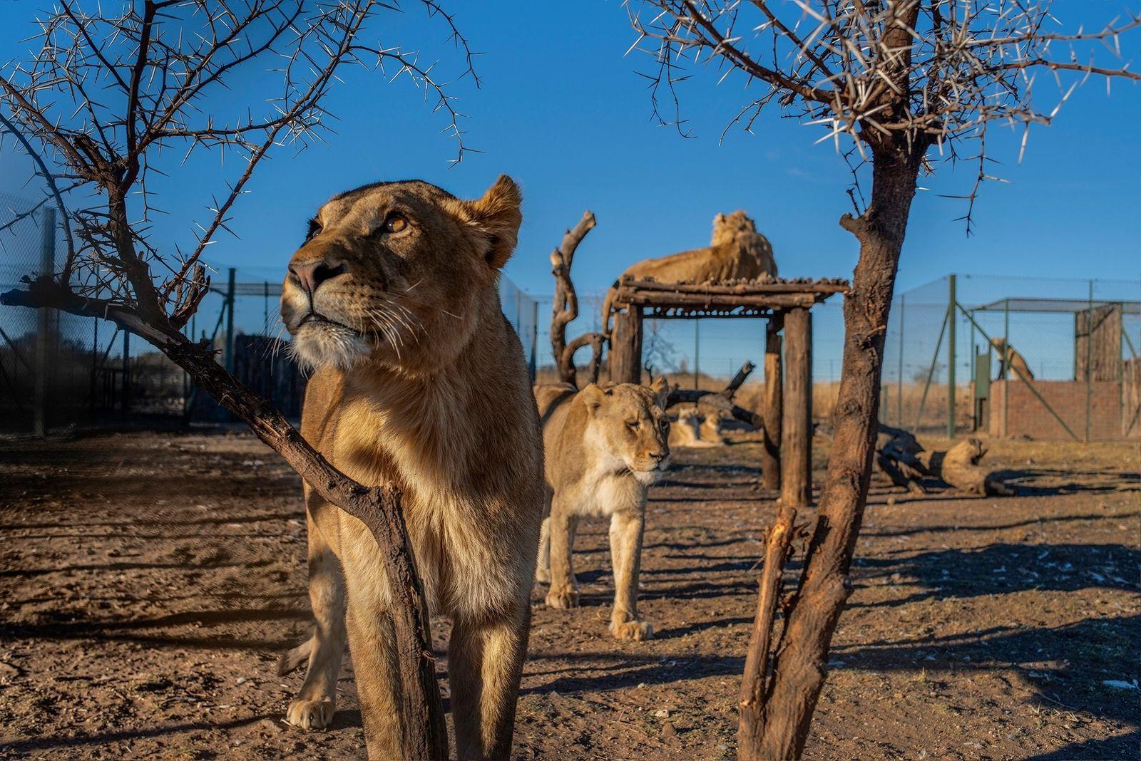 Exclusivo: Por dentro de uma controversa fazenda de leões na África do Sul