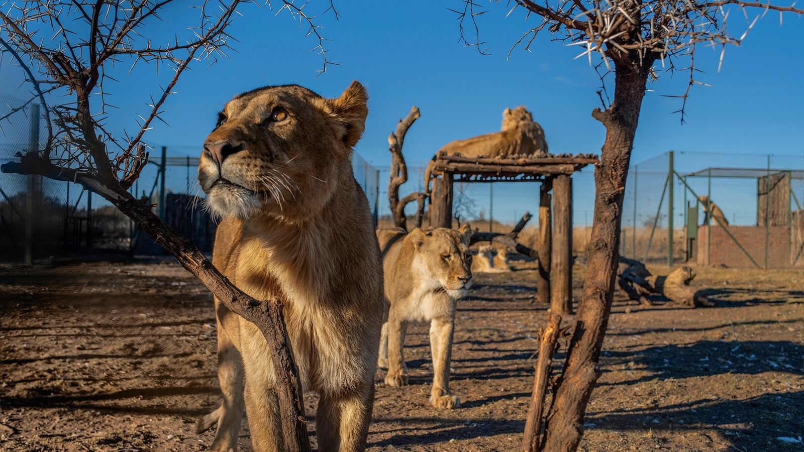Durante uma inspeção de bem-estar animal em abril de 2019, na fazenda Pienika, na província Noroeste, ...