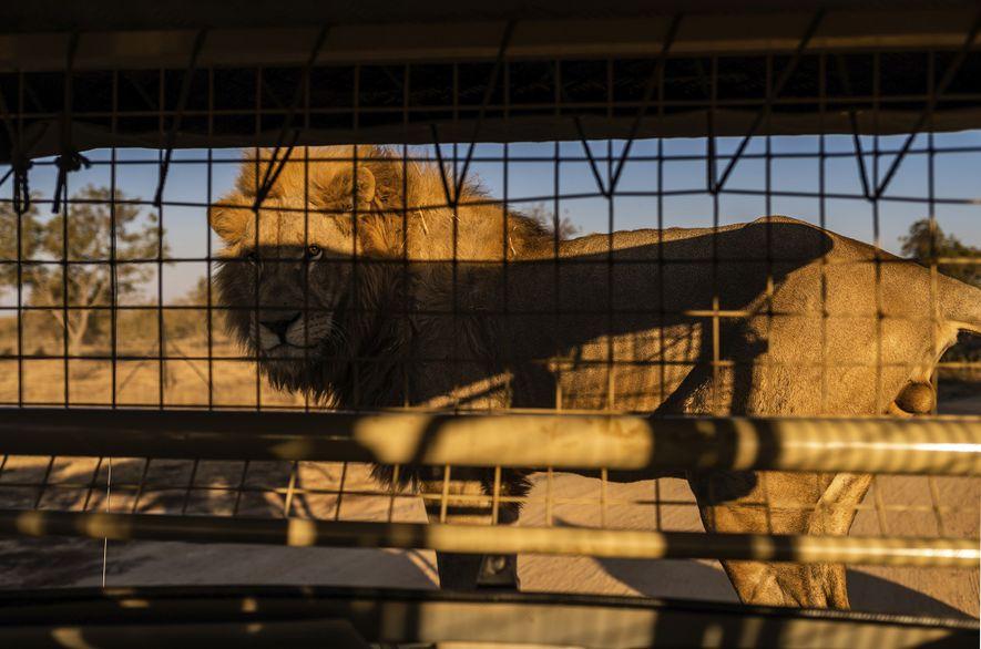No Lion & Safari Park, na província Noroeste, os turistas são convidados a se aproximar e ...