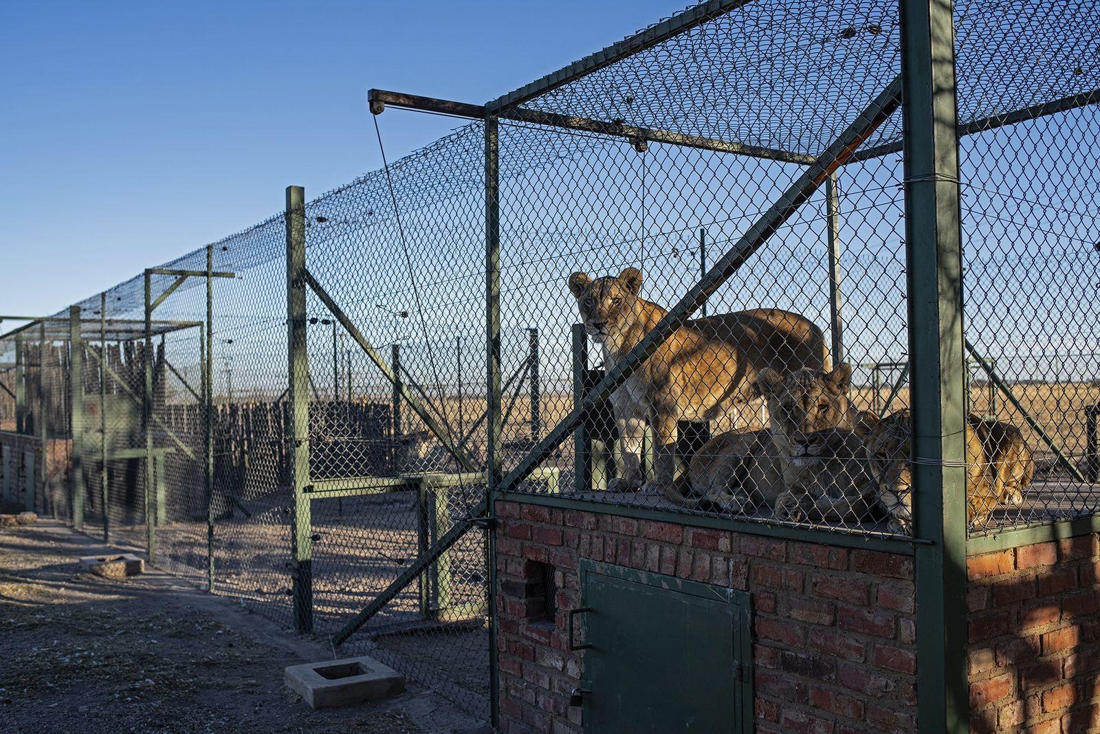 Na fazenda Pienika, dezenas de espécies — não apenas leões, mas também tigres-de-bengala, tigres-siberianos, hienas, linces, ...