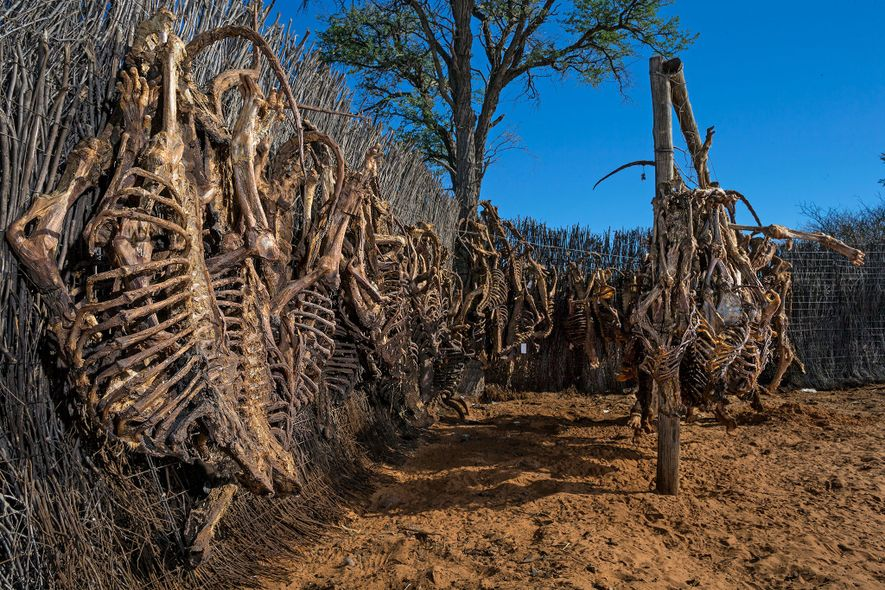 Esqueletos de leão são pendurados para secar antes de sua exportação. A África do Sul tem ...