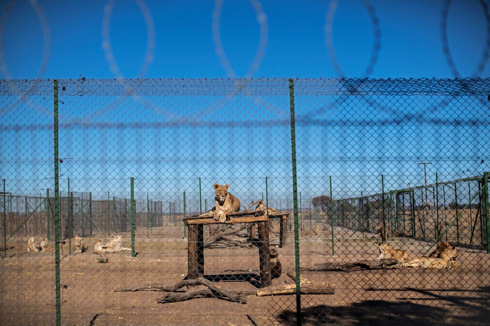 De acordo com as normas e padrões da Associação de Predadores da África do Sul, que ...