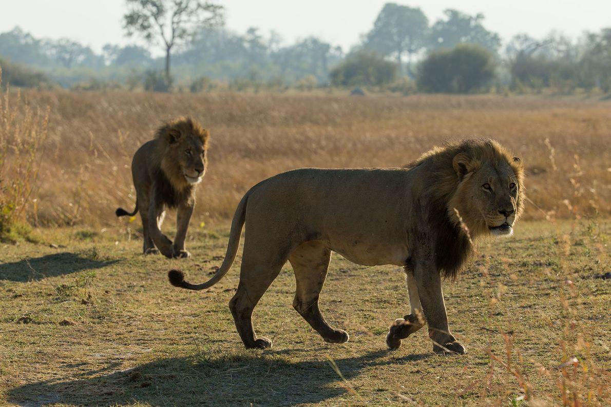 Os dois primeiros leões machos chegam a Selinda.
