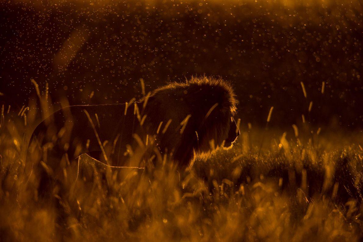 Um leão macho à procura de fêmeas.