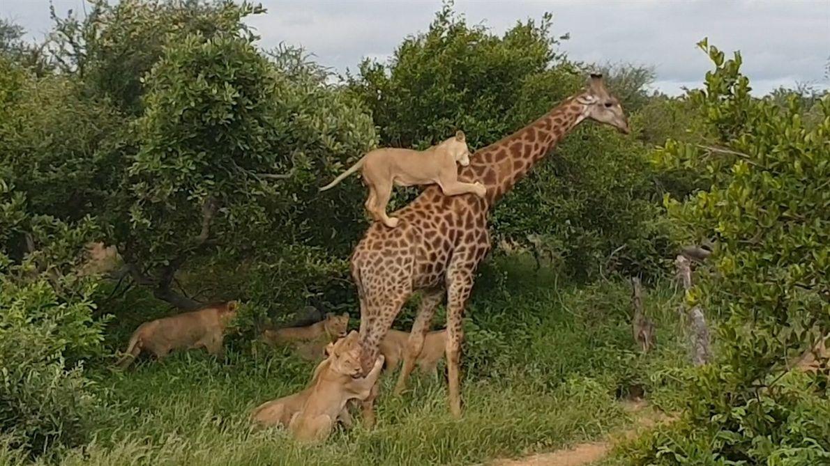 Imagens raras mostram leoas tentando abater girafa adulta