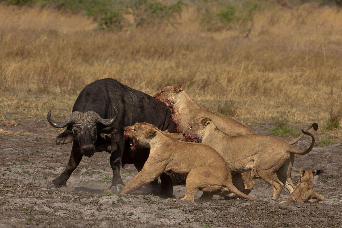 Após o trauma da travessia, as duas leoas deixam os filhotes acompanhá-las durante a caça, o ...