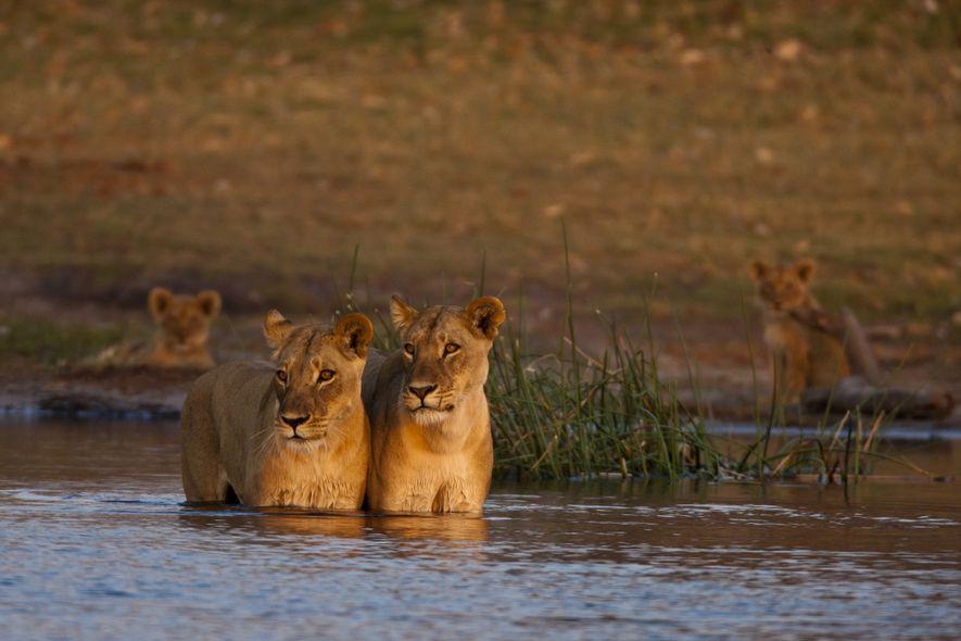 Duas leoas, em Selinda, verificam se há perigo na água ao fazerem a primeira travessia.