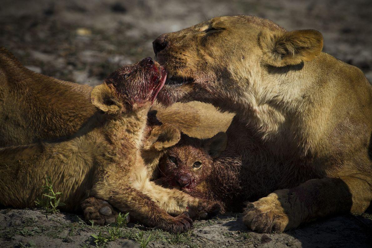 Depois de comer, esta leoa lambe o rosto do filhote e, em alguns minutos, o filhote ...