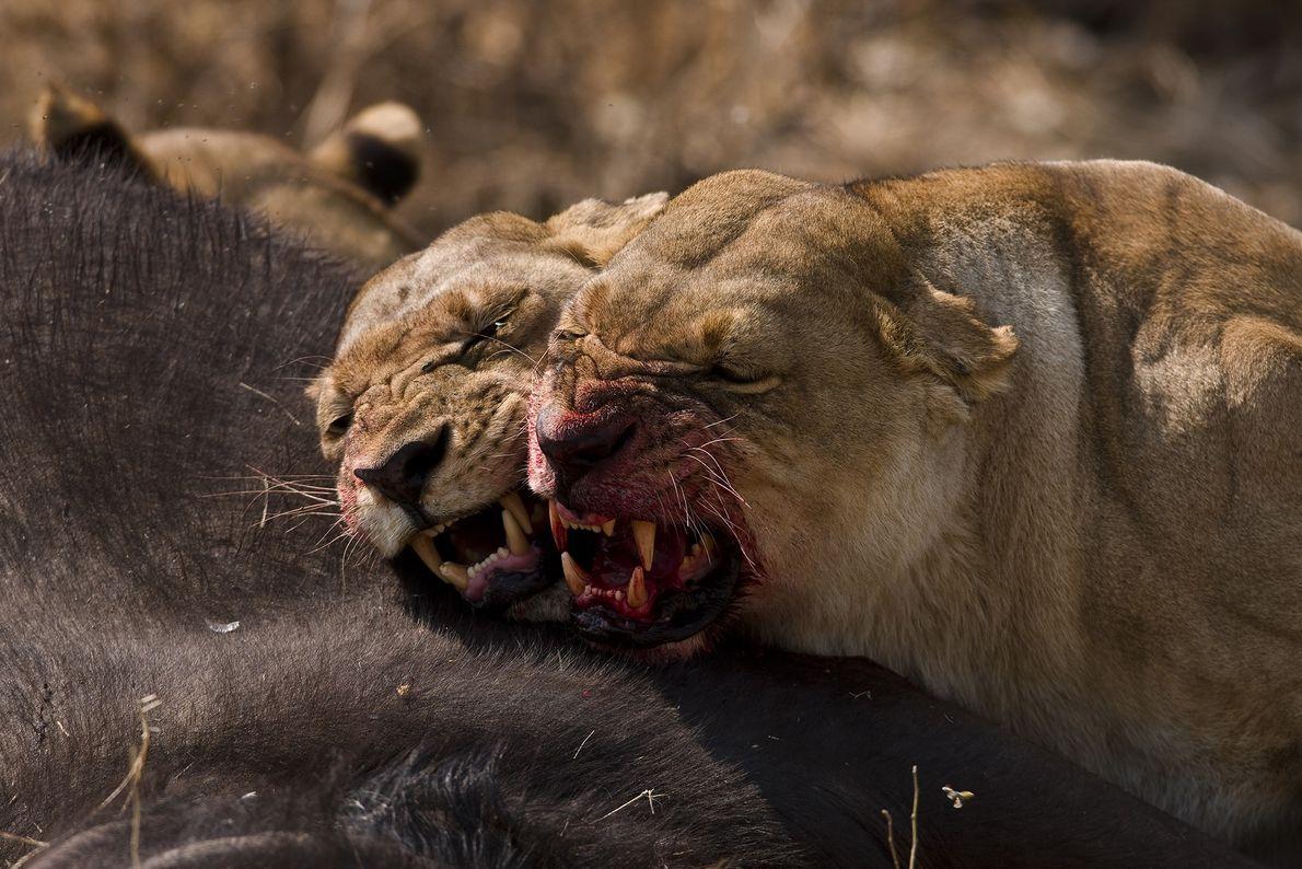 Duas leoas tem um pequeno desentendimento após cooperar na caça de um búfalo.