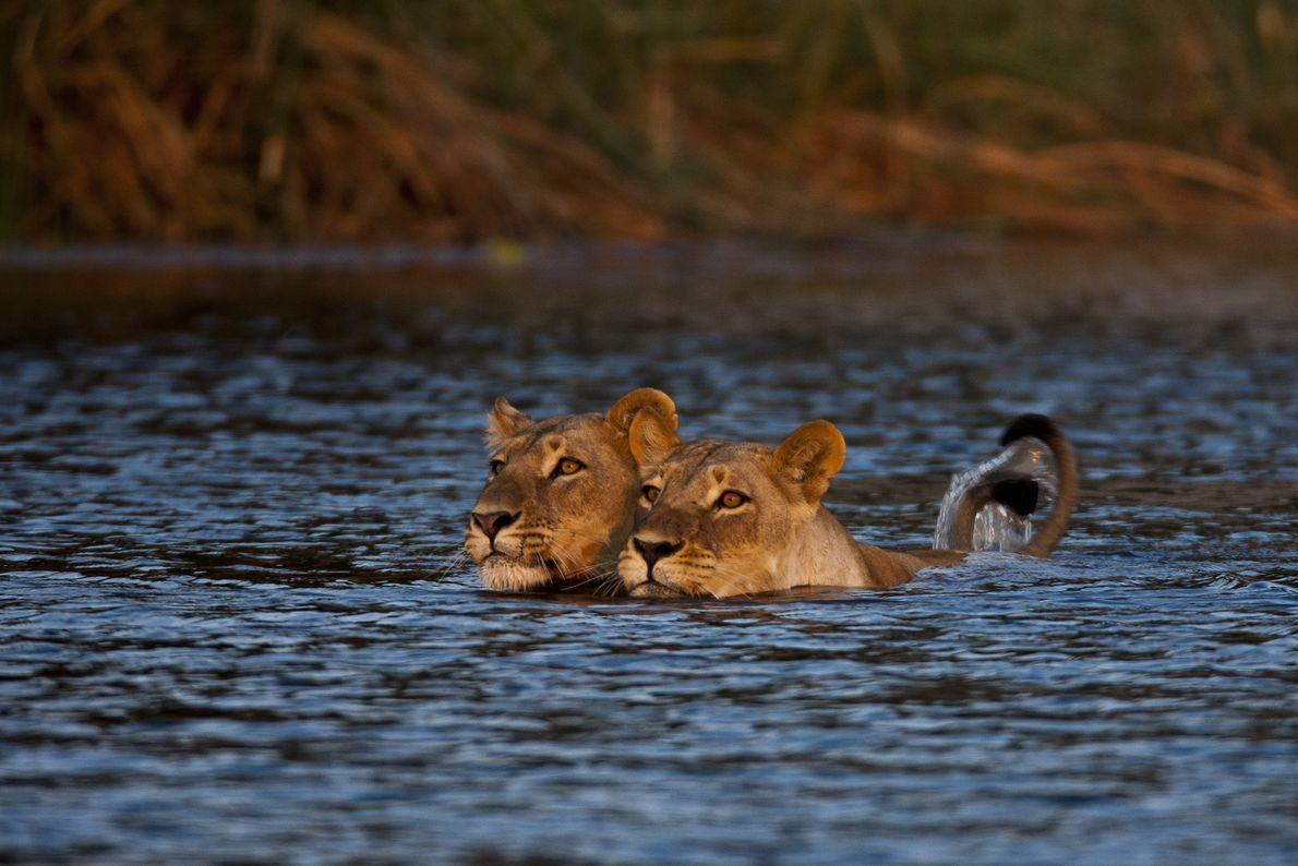 Depois da terceira tentativa frustrada de fazer os dois filhotes atravessarem, as leoas voltam na manhã ...