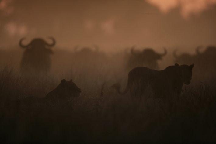 Leões se aproveitam da poeira para criar confusão no rebanho de búfalos e conseguir caçar.