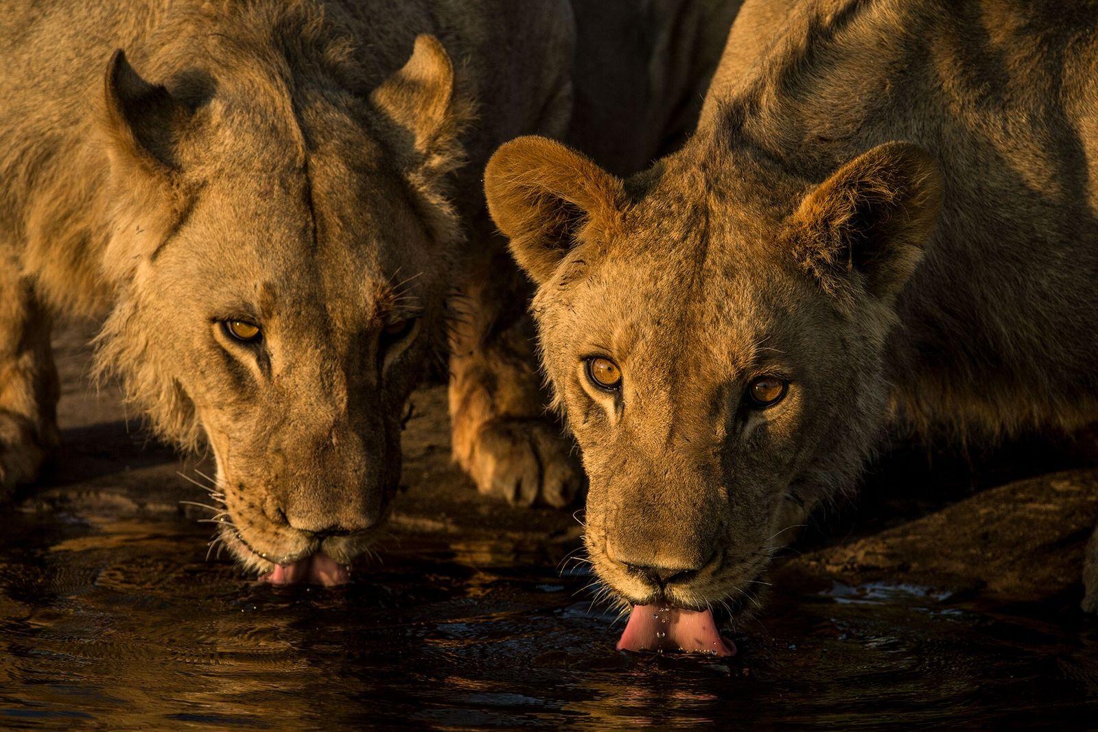 Fotos: Em Botsuana, leões retornaram ao território onde antes eram caçados