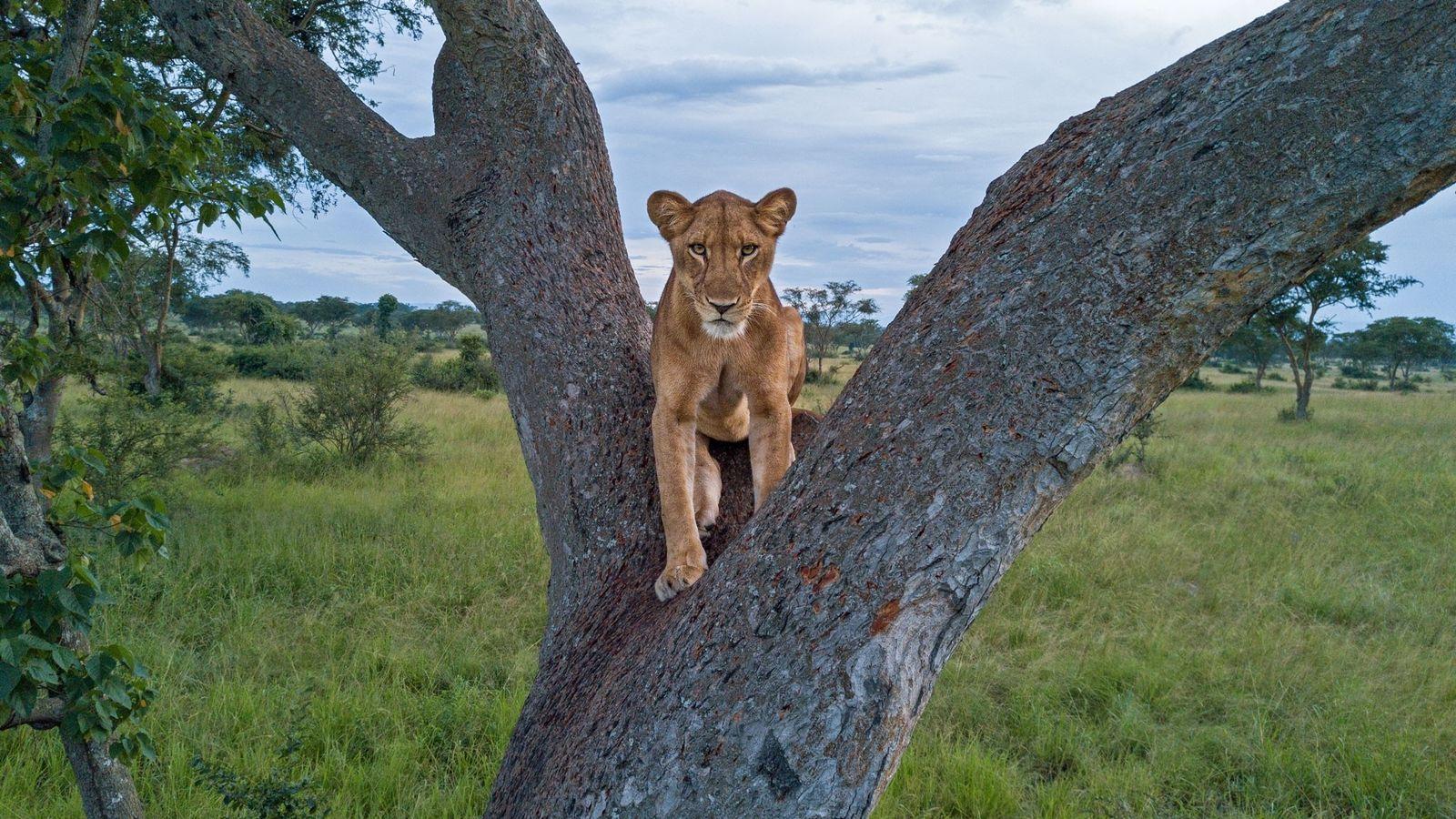 Uma leoa descansa no tronco bifurcado de uma árvore no Parque Nacional Rainha Elizabeth, em Uganda. ...
