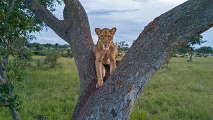 Por que não é possível saber precisamente quantos leões vivem na África?