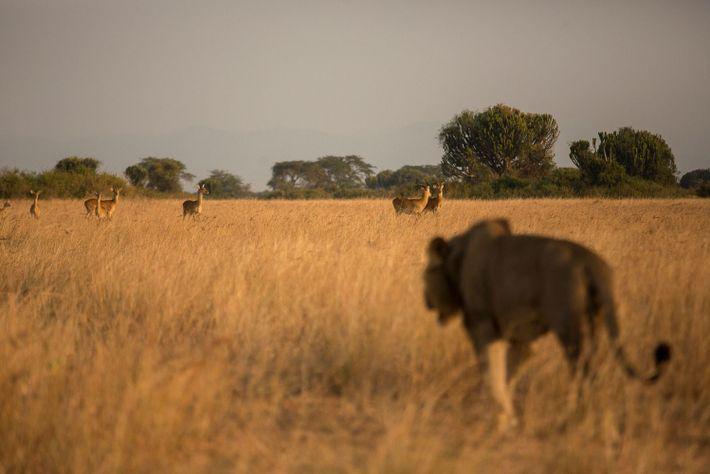 Uma leoa observa uma possível presa. Com os dados fornecidos pelo método SECR, os pesquisadores agora ...