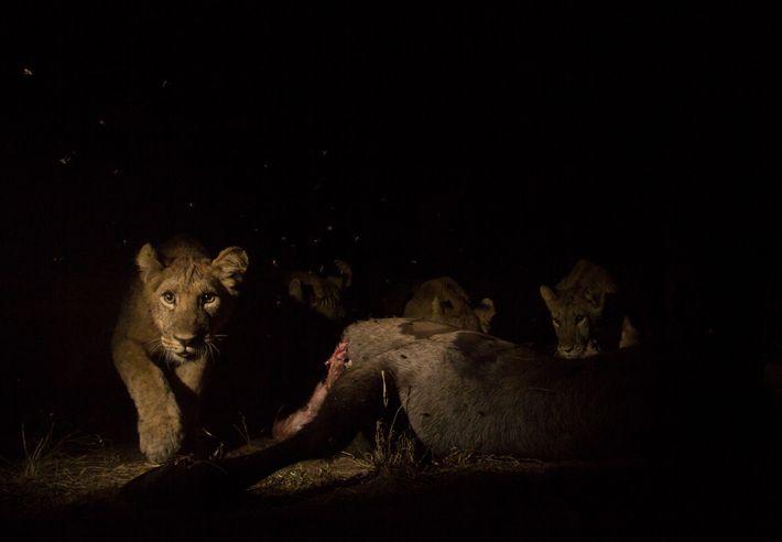 Um jovem leão devorando um inhacoso aciona uma câmera camuflada remota. Com a coleta de fotos ...