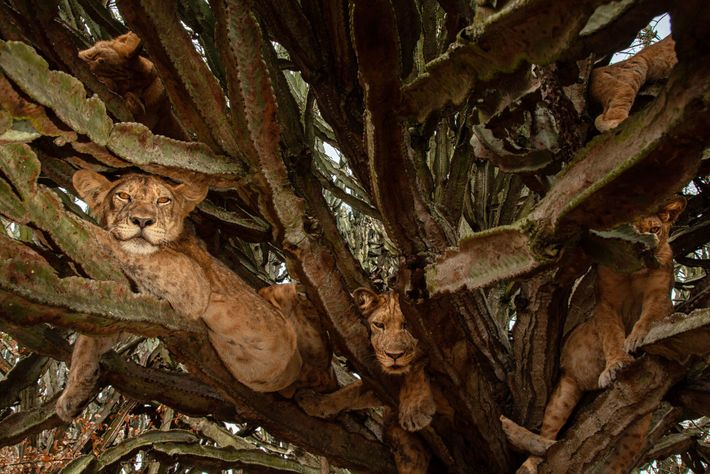 Filhotes de seis meses descansam em uma árvore. Embora os cientistas discordem em relação aos melhores ...