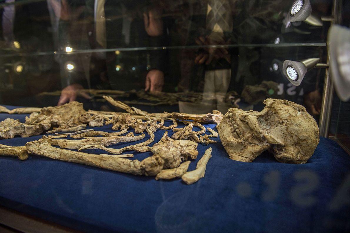 Ancestral humano de 3,6 milhões de anos é revelado ao público