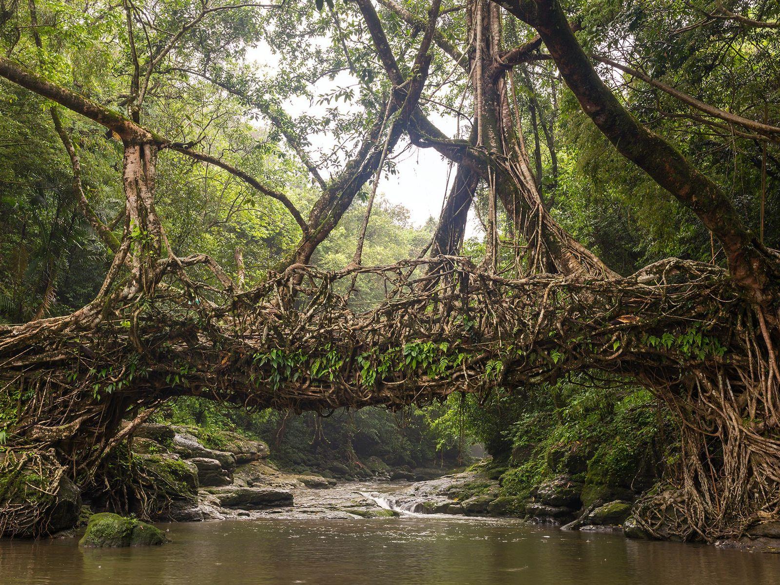 Esta ponte perto da vila de Riwai, no estado indiano de Meghalaya, foi formada a partir ...