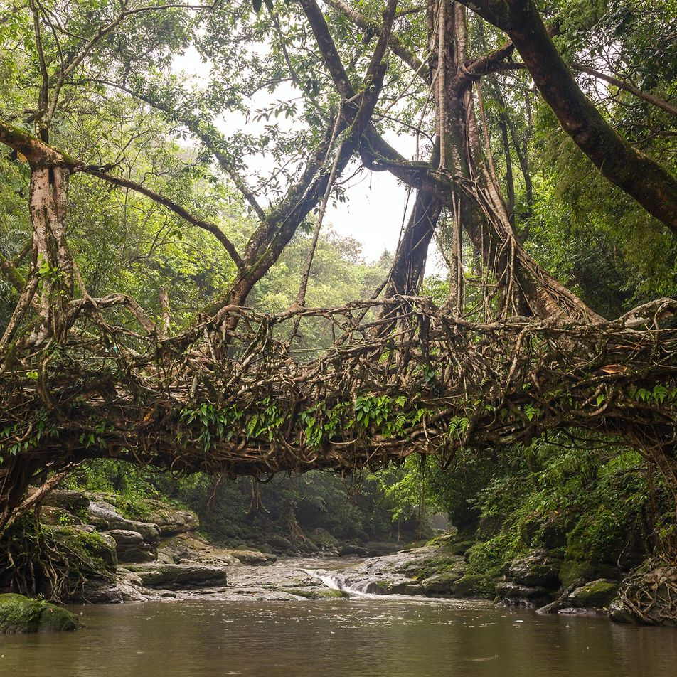 Pontes de árvores vivas na Índia permanecem fortes por centenas de anos