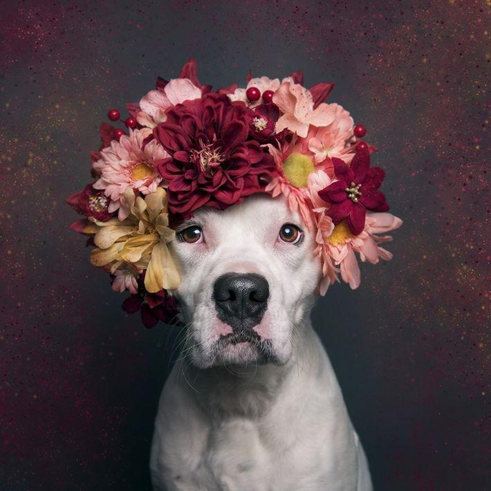 pitbull-adocao-flores-ensaio-fotografico