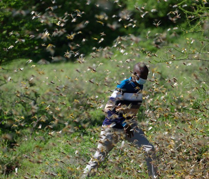 Albert Lemasulani, pastor de animais no Quênia, tem rastreado enxames de gafanhotos voluntariamente para o governo ...