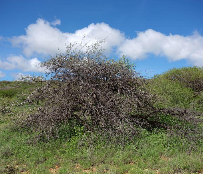 Gafanhotos-do-deserto costumam comer vegetação verde e podem deixar plantas completamente secas, como este arbusto no norte ...