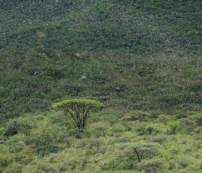 Um enorme enxame de gafanhotos encobrem acácias no norte do Quênia em abril. Os enxames podem ...