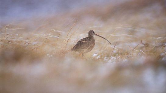 Um terço dos maçaricos-bicudos, que estavam sob monitoramento de pesquisadores em uma área de conservação no ...