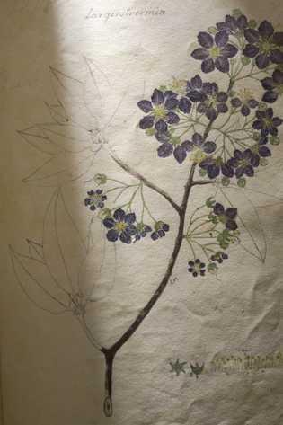 """Essa ilustração, intitulada """"Largerstroemia"""", é diferente porque está incompleta, com as florações coloridas e as folhas ..."""
