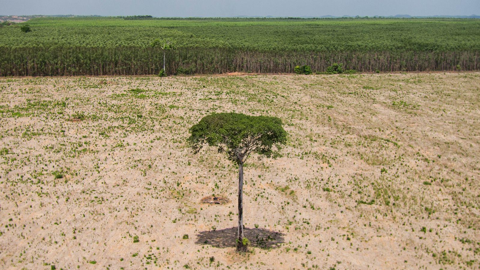 Uma árvore solitáriasobrevive em uma área desmatada do Maranhão, no extremo nordeste da floresta amazônica.