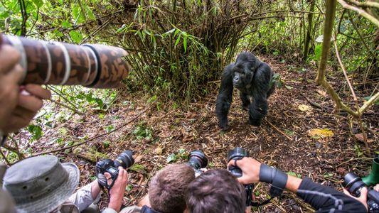 Fotografias de turistas põem gorilas selvagens em risco de contrair covid-19
