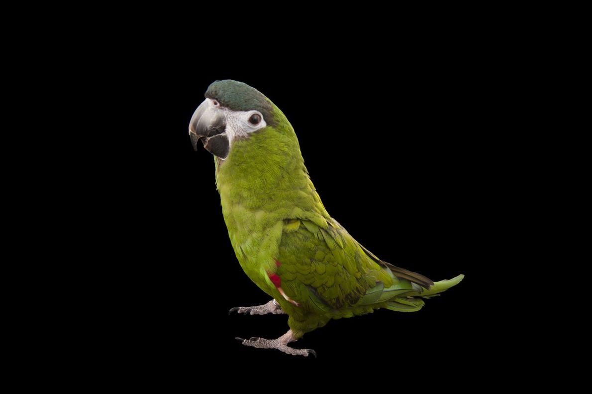 Maracanã-pequena fotografada no Instituto Natural Auduborn, em Nova Orleans, EUA.
