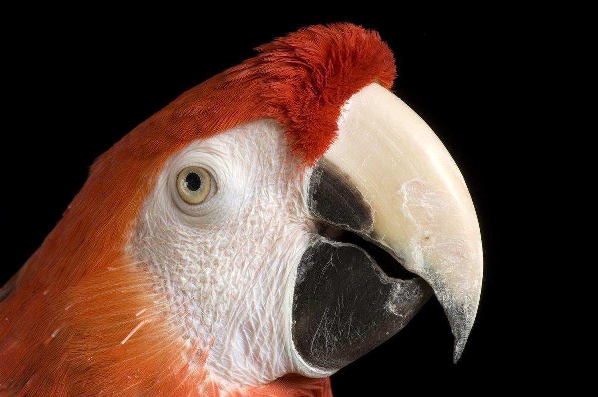 Araracanga (Ara Macao) fotografada no zoológico de Saint Louis, EUA.