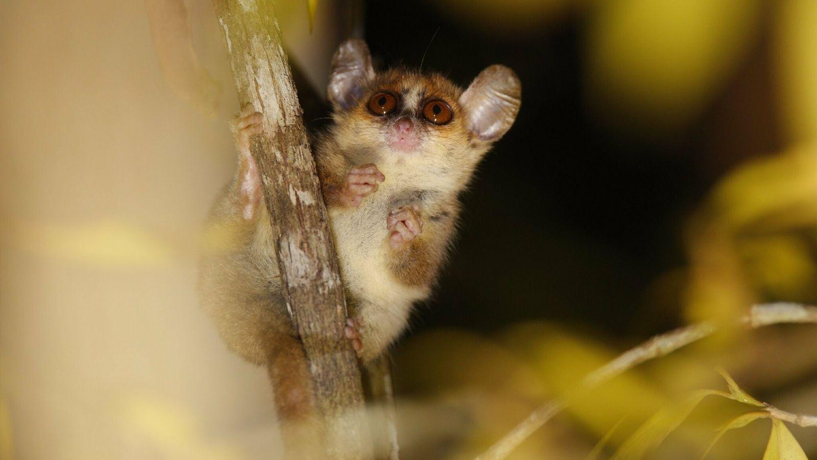 Lêmures-ratos, como os da espécie Microcebus berthae, criticamente ameaçada de extinção, são tão pequenos que cabem na palma ...