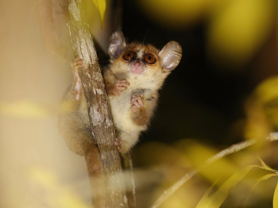 Lêmures de Madagascar sob risco de extinção estão sendo mortos durante a pandemia