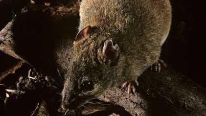 Primeira espécie de mamífero oficialmente extinta devido às mudanças climáticas