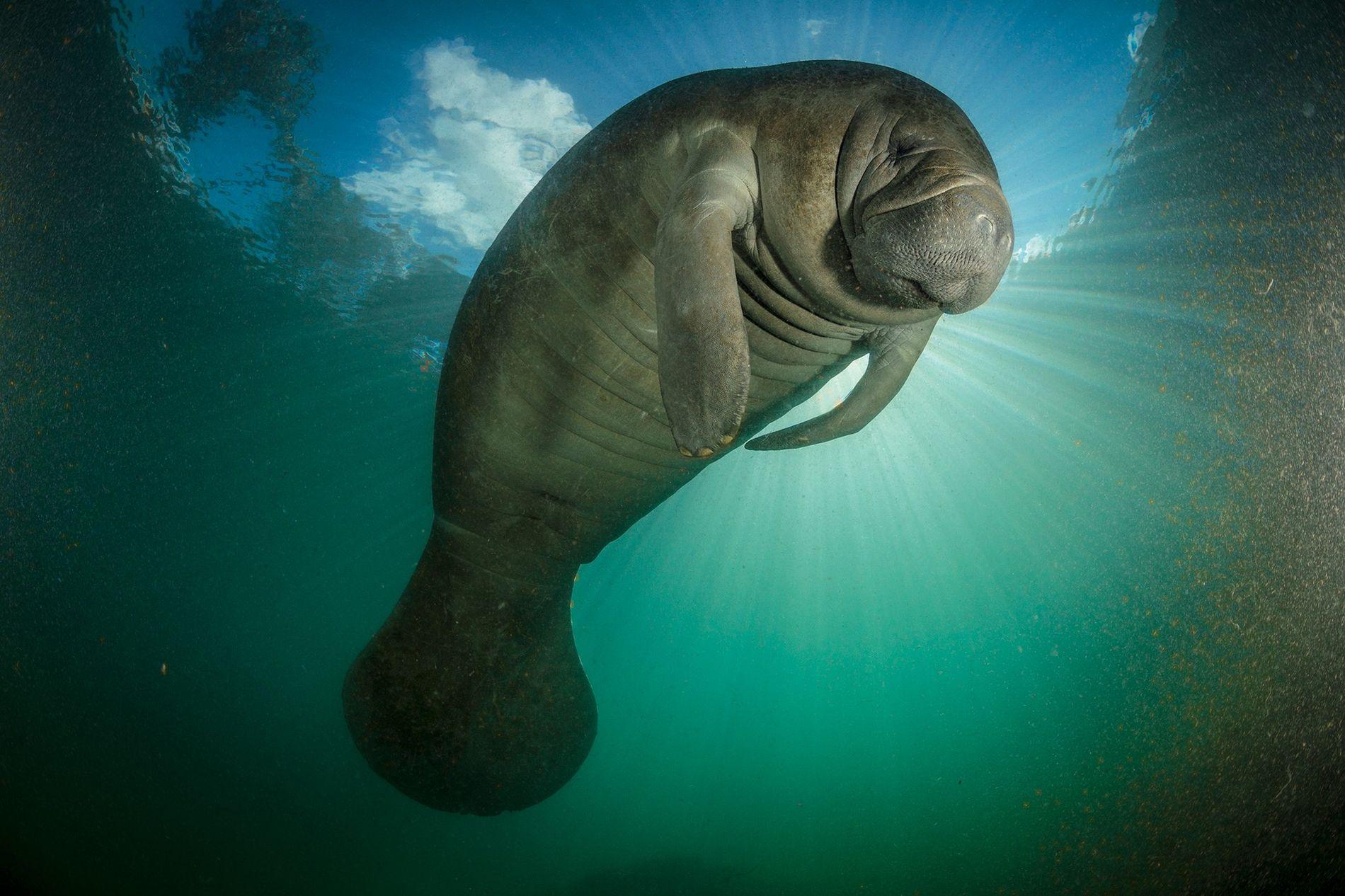 Os peixes-bois, como este visto na Flórida, estão entre os mamíferos marinhos mais vulneráveis ao escoamento ...