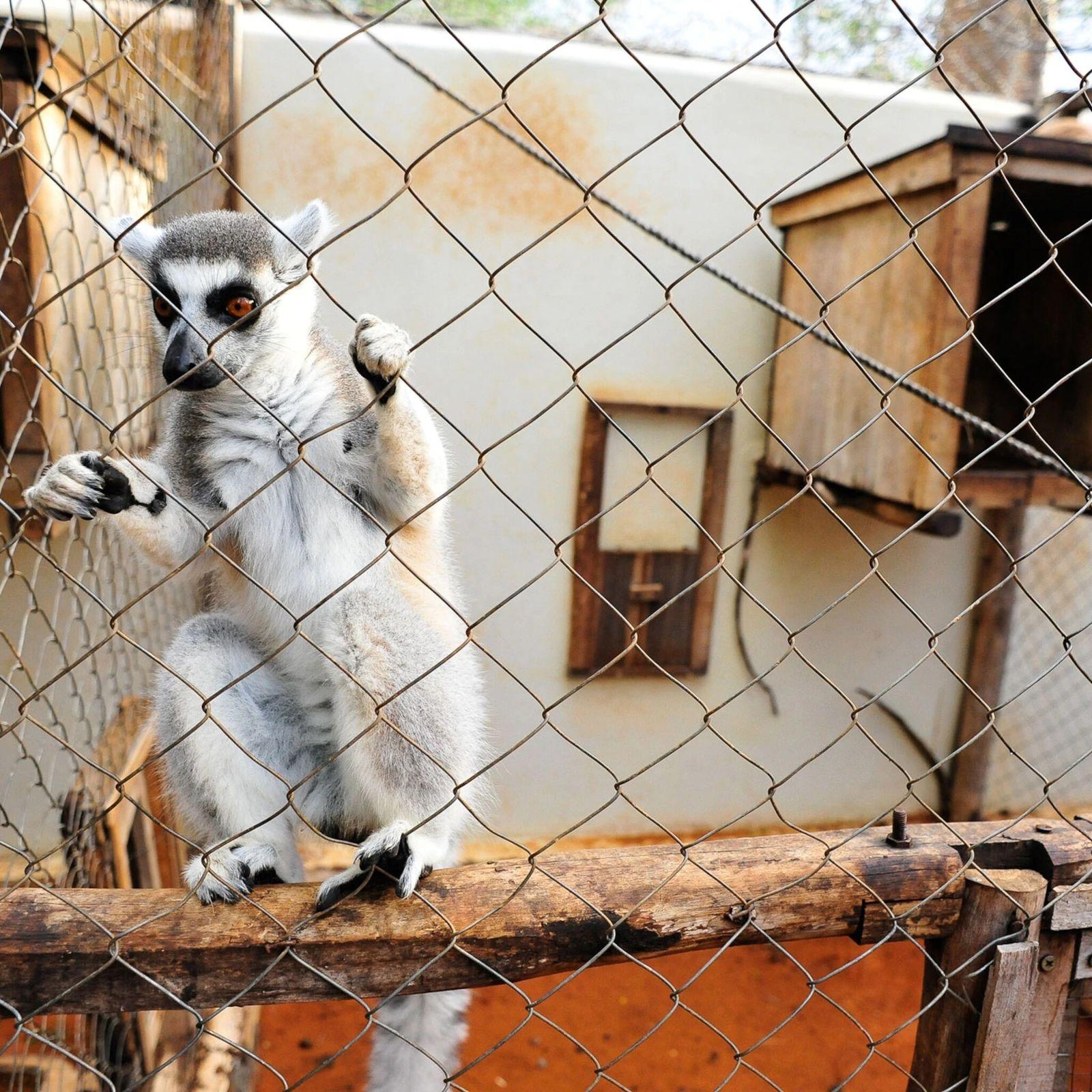 Ter um lêmure como animal de estimação é ilegal em Madagascar desde 1962. Mas lêmures-de-cauda-anelada, como ...