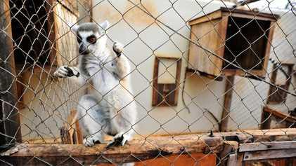Lêmure morre de tuberculose – possivelmente por aumento de comércio ilegal da espécie